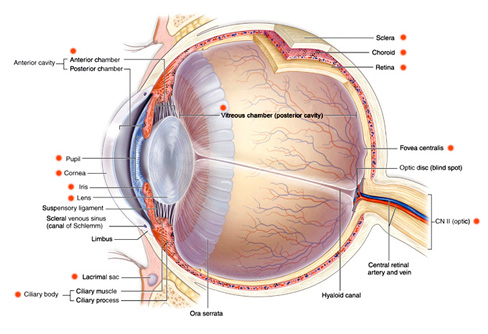 All in one opticians provide you the total eye care you need for diagram of the eye ccuart Images